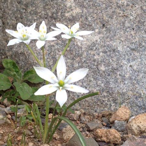 Star of Bethlehem - Flores de Bach de Naturset