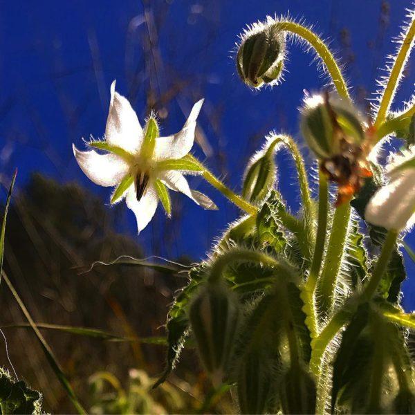 Borraja - Sudorífica - Naturset Salut i Cosmètica